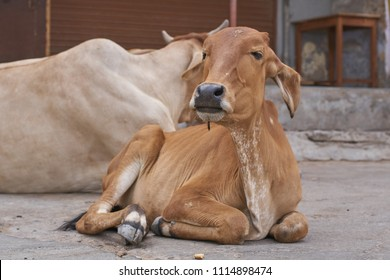 A small cow on the road in India with its mother in the background.