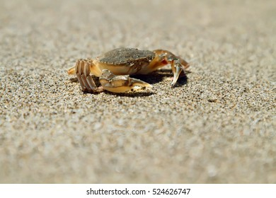 Small crab on sand. Italy.