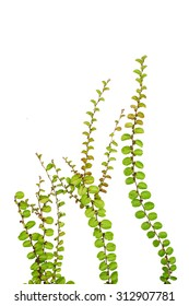 Small creeper plant isolated on white background, under water plant concept.