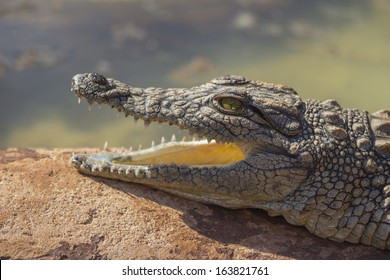 Small Crocodile With Mouth Open