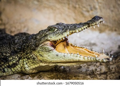 A small crocodile with an open mouth