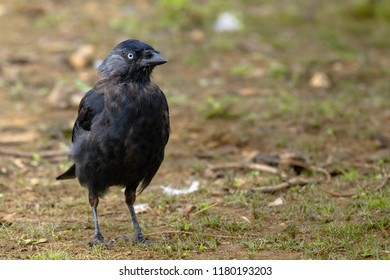Small Crow in Richmond Park