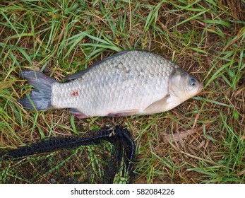 Small crucian carp caught on corn from deep lake on grass, net in background, silver scales and fins, fishing and hunting for wild animals in nature
