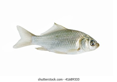 Small crucian isolated on white background