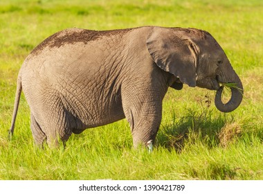 Small cute baby elephant calf eats grass with curled trunk happy with cattle egret bird Loxodonta Africana Amboseli National Park Kenya East Africa. Wildlife on African safari