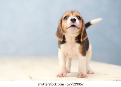 Photo of small cute beagle puppy dog looking up