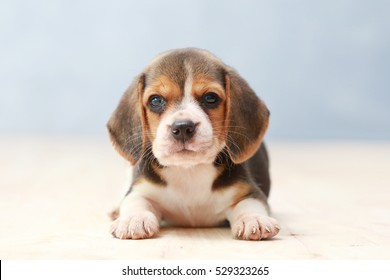 Best Sea Beagle Adorable Dog - small-cute-beagle-puppy-dog-260nw-529323265  Collection_697997  .jpg