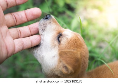 small cute brown puppy dog biting playing human hand
