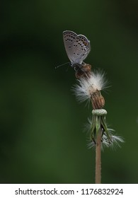 A small cute butterfly with black and yellow dots sitting on blowball of a dandelion. Side view.