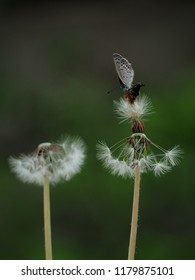 A small cute butterfly with black and yellow dots sitting on blowball of a dandelion. Front view.