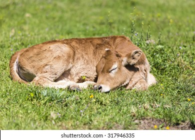 Small cute calf sleeping on the green meadow. Newborn baby cow.