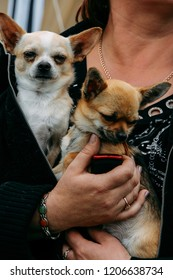 Small cute chihuahua dogs in arms