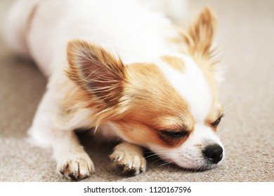 small cute chihuahua is sleeping and resting