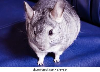 small cute chinchilla