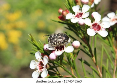 Small and Cute coleoptera or beetle on a flower