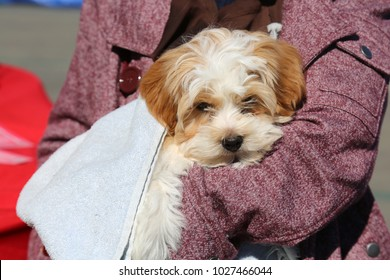 Small cute dog being held during the 2018 TET Festival in Costa Mesa California. Lunar New Year 2018. 2018 Year of the Dog.