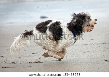 Small Cute Dog Running On Sandy Stock Photo Edit Now 159438773