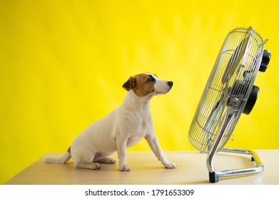 A small cute dog sits on a table in front of a large electric fan on a yellow background. Jack Russell Terrier is chilling on a hot summer day. Cold breeze.