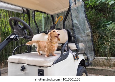 Small cute dog standing on old weathered golf cart seat. Healthy young beige dachshund walking outdoor.