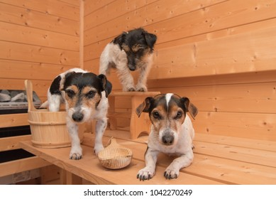 small cute dogs in the sauna - three jack russell terrier