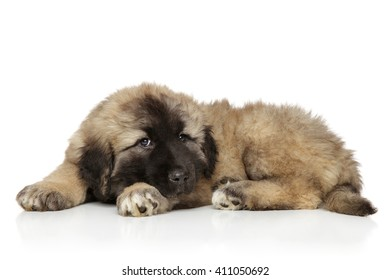 Small cute funny Caucasian shepherd puppy laying on white background