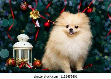 05efca6d772 Small cute funny dog laying at carpet on Christmas tree background.  Pomeranian spitz puppy dog