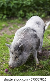 Small cute gray pig in the zoo.