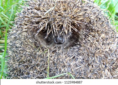 Small cute hedgehog with many sharp needles coil up and rests in the forest looks to camera in green grass and dry leaves close up view.