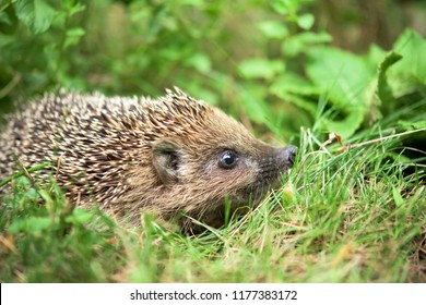 Small cute hedgehog wolking in a grasss
