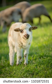 Small cute lamb gambolling in a farm. Small Sheep on the meadow.