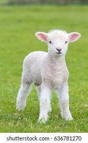 Small cute lamb gambolling in a meadow in a farm
