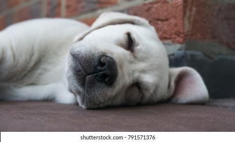 small cute little white labrador retriever dog puppy is sleeping outdoors