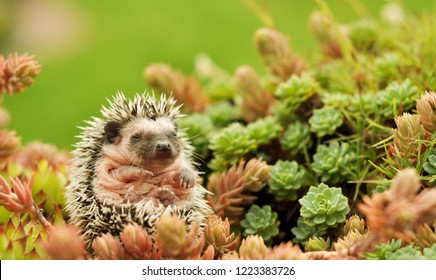 Small cute pet baby hedgehog laying alone in the middle of plants in the garden in Czech Republic.