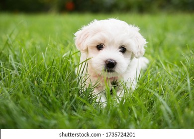 Small cute puppy of maltese dog sitting in the grass. Diffuse background. White fluffy fur.