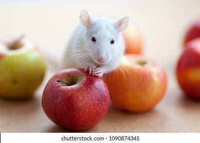 A small cute rat sitting on the red apples and looking to the camera