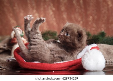 small cute, sweet chocolate kitten on a bright background Beautiful cat