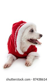 Small cute white pet dog wearing a warm and cosy red hooded outfit.  Looking sideways at your message.  White background.