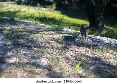 Small cute wildlife animal baby Quokka  side of the road at Rottnest Island tourist destination in Perth WA, Austra