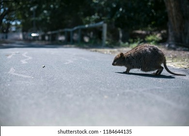 Small cute wildlife domestic animal Quokka mum running across the tar road at isolated Rottnest Island tourist destination in Perth WA, Australia
