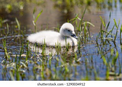 A small Cygnet, baby Black Neck Swan, swimming on a lake with a green grass as background, and with its reflection on the water.