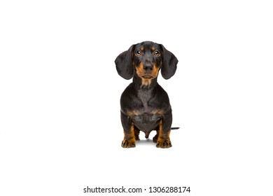 small dachshund sitting in front of a white background