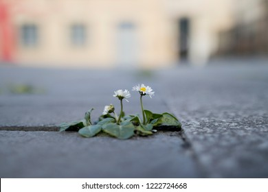 Small daisy flower (Bellis perennis) growing in pavement