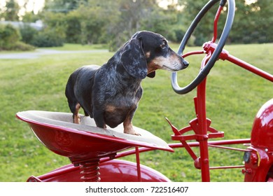 Small dapple dachshund riding on a red tractor.