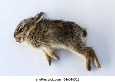 A small dead baby rabbit on a white background.