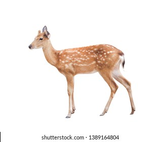 Small dear standing isolated on white background with clipping path