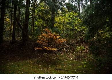 Small deciduous tree stands in the middle of coniferous trees