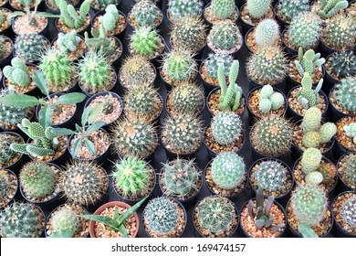 Small decorative cactus in pot