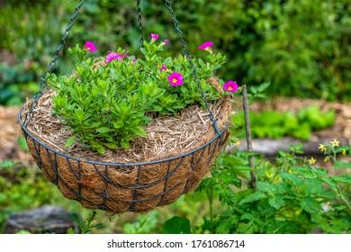 Pequeñas flores de un millón de campanas rosadas que crecen en la cesta colgada del jardín. La campana del Calibrachoa como las flores son como petunias en miniatura. Rodeado de hojas verdes saludables. Antecedentes de Bokeh.