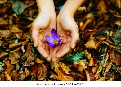 A small, delicate lilac crocus flower in female hands against the background of fallen autumn foliage. Protecting the surrounding nature and forests. We love nature.