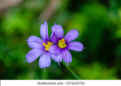 A small delicate member of the Iris family, this little Bermudiana is the national flower of Bermuda.  In the spring it can be found growing everywhere wild.